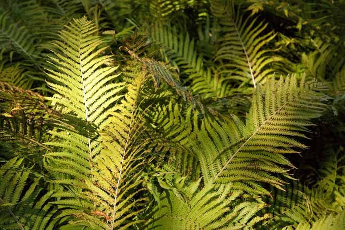 """How to Grow Ferns Add a Touch of """"Jurassic Park"""" to Your Garden is part of Ferns garden, Plants, House plants indoor, Garden, Native plants, Plant leaves - While ferns are easy to grow, you'll want to understand their peculiarities before diving in  Learn how to plant and take care of this ancient beauty"""