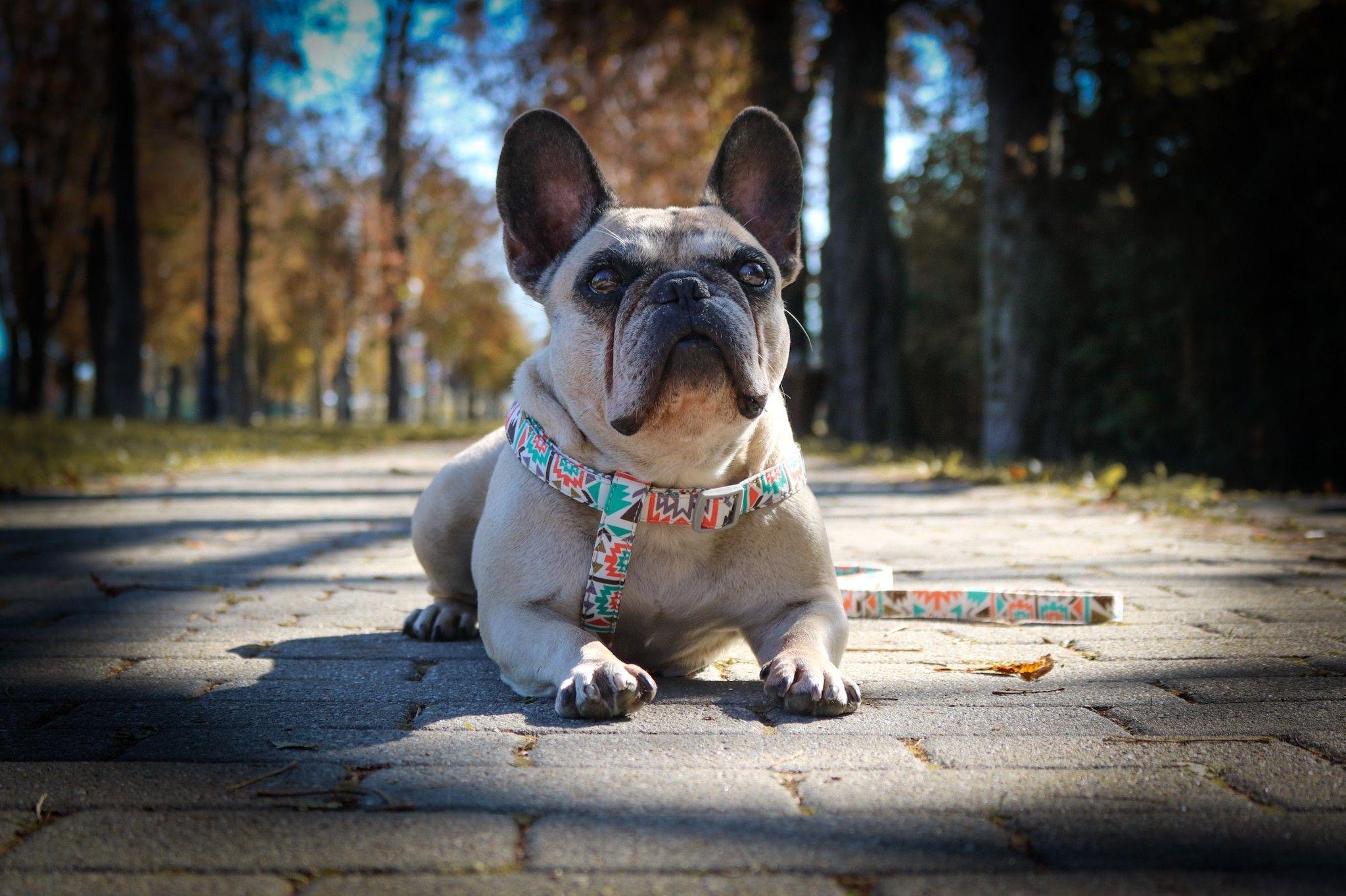 Pin By Eleonora Kurel On My Frenchie Deedee Beautiful Dogs