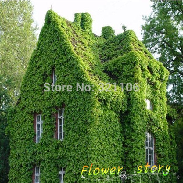 40 ( boston hera / parede hera ) Parthenocissus Tricuspidata Veitchii trepadeira folhagem sementes de flores épocas de semeadura Yi(China (Mainland))