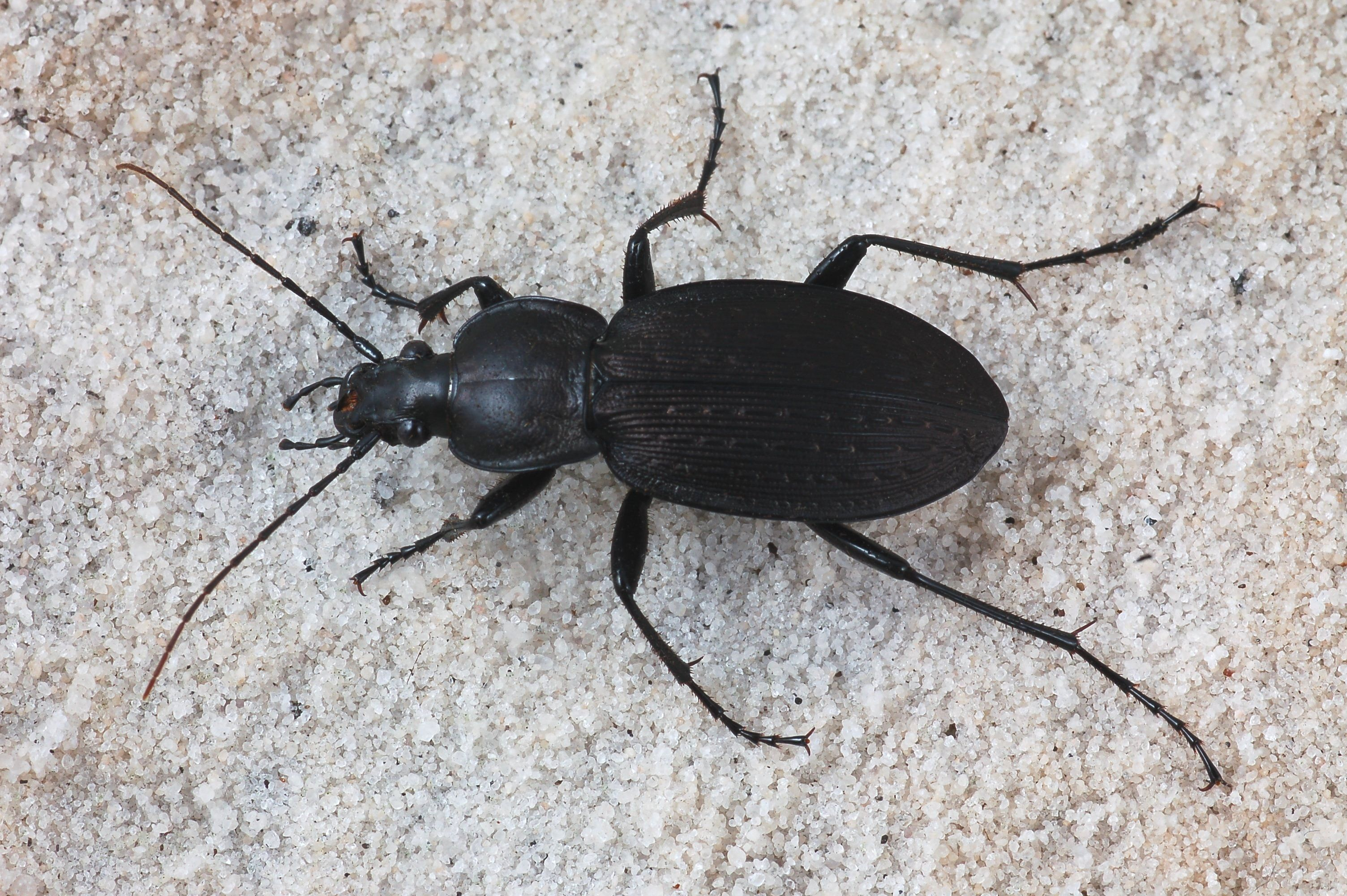 Opinions On Ground Beetle Insect Species Beetle Grounds