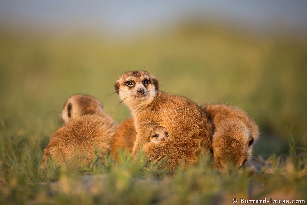 Meerkats Use Wildlife Photographer As Scouting Perch Adventure Sports Network Baby Meerkat Meerkat Wild Animals Pictures