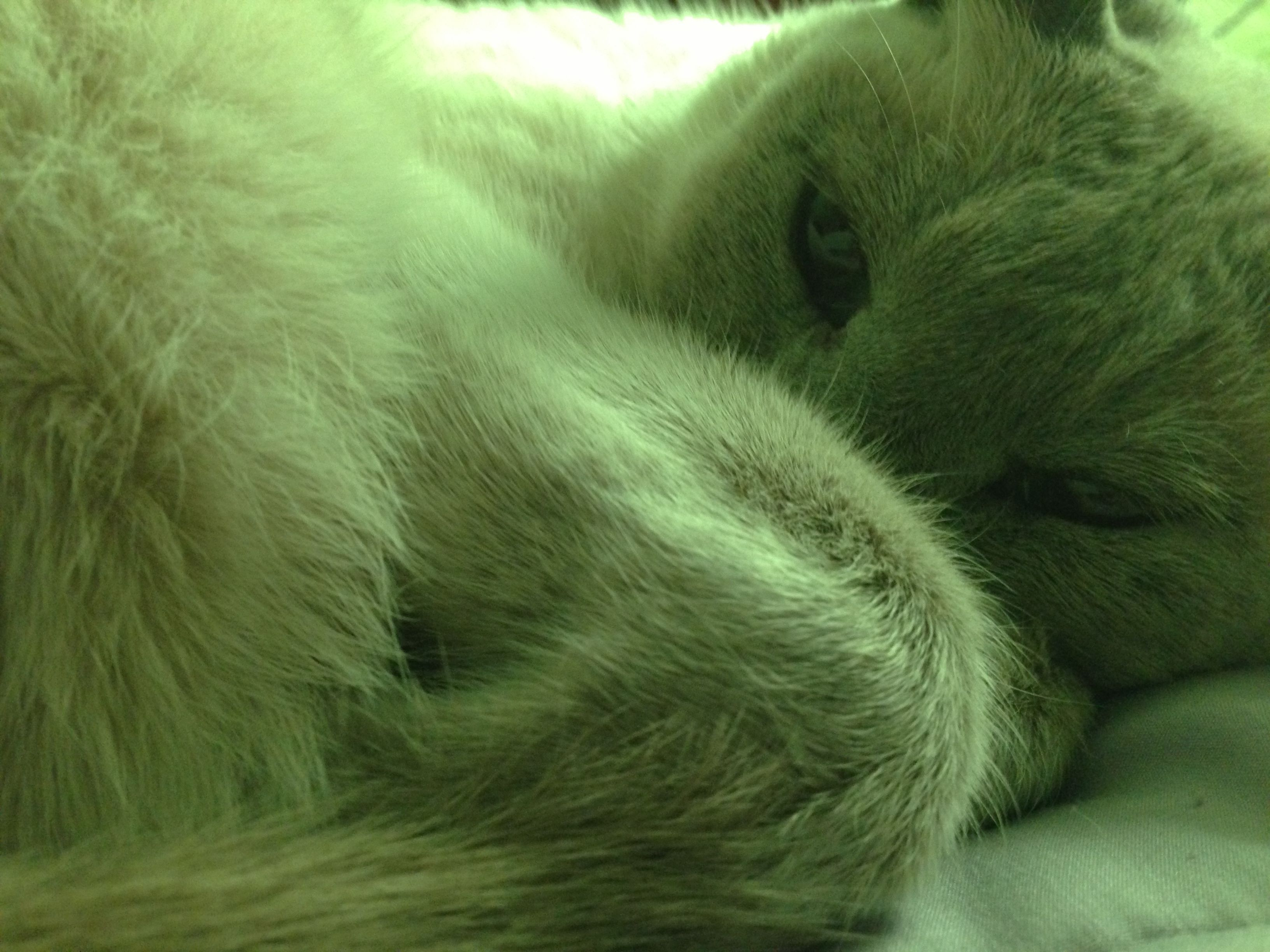 Siamese Cat is Tired