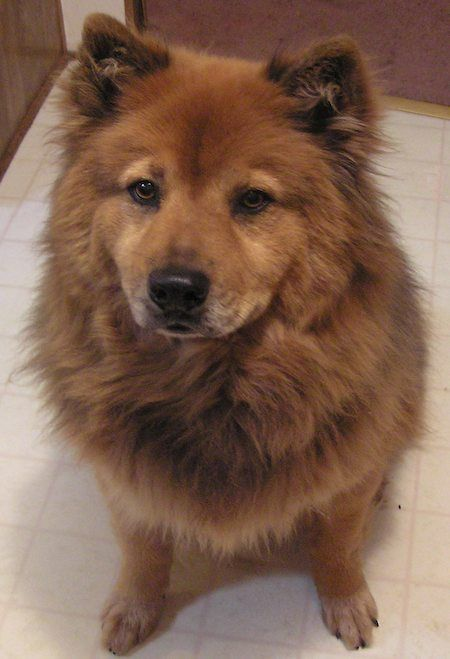 German Chow German Shepherd And Chow Chow Mix Chow Chow