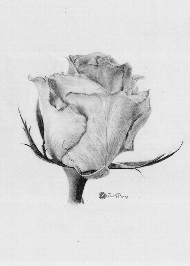 45 Images Drawn In Pencil Roses Cute Part3 Drawing