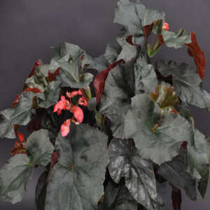 Begonia Ice Castles Steve S Leaves Begonia Ice Castles Tropical Plants
