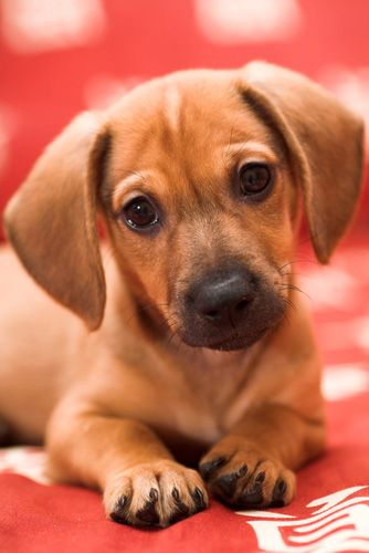 Daschund Puppy Wy Wants One So Bad And With A Face Like This I Do