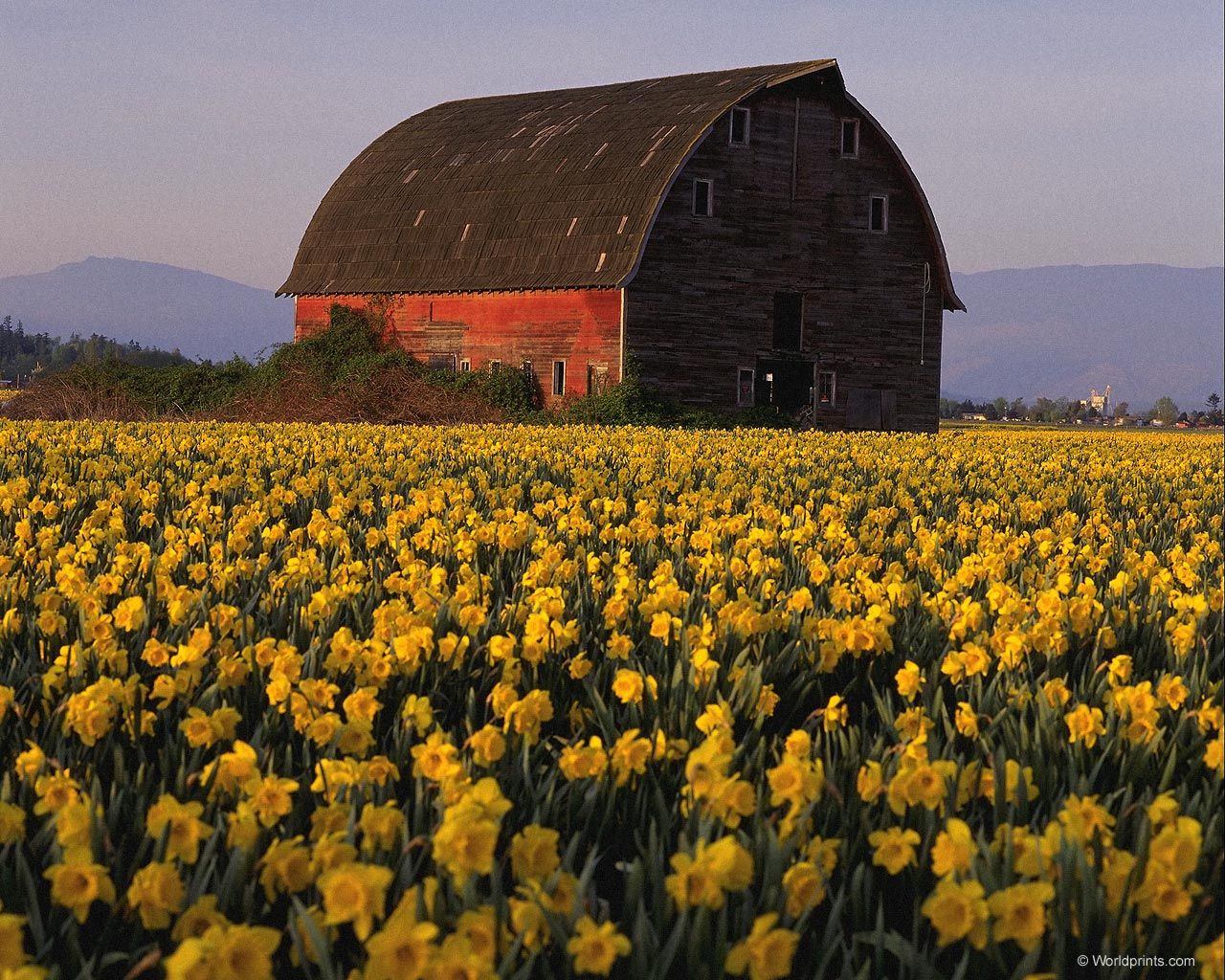 Old Barn With Field Of Yellow Daffodils Pretty Scenic