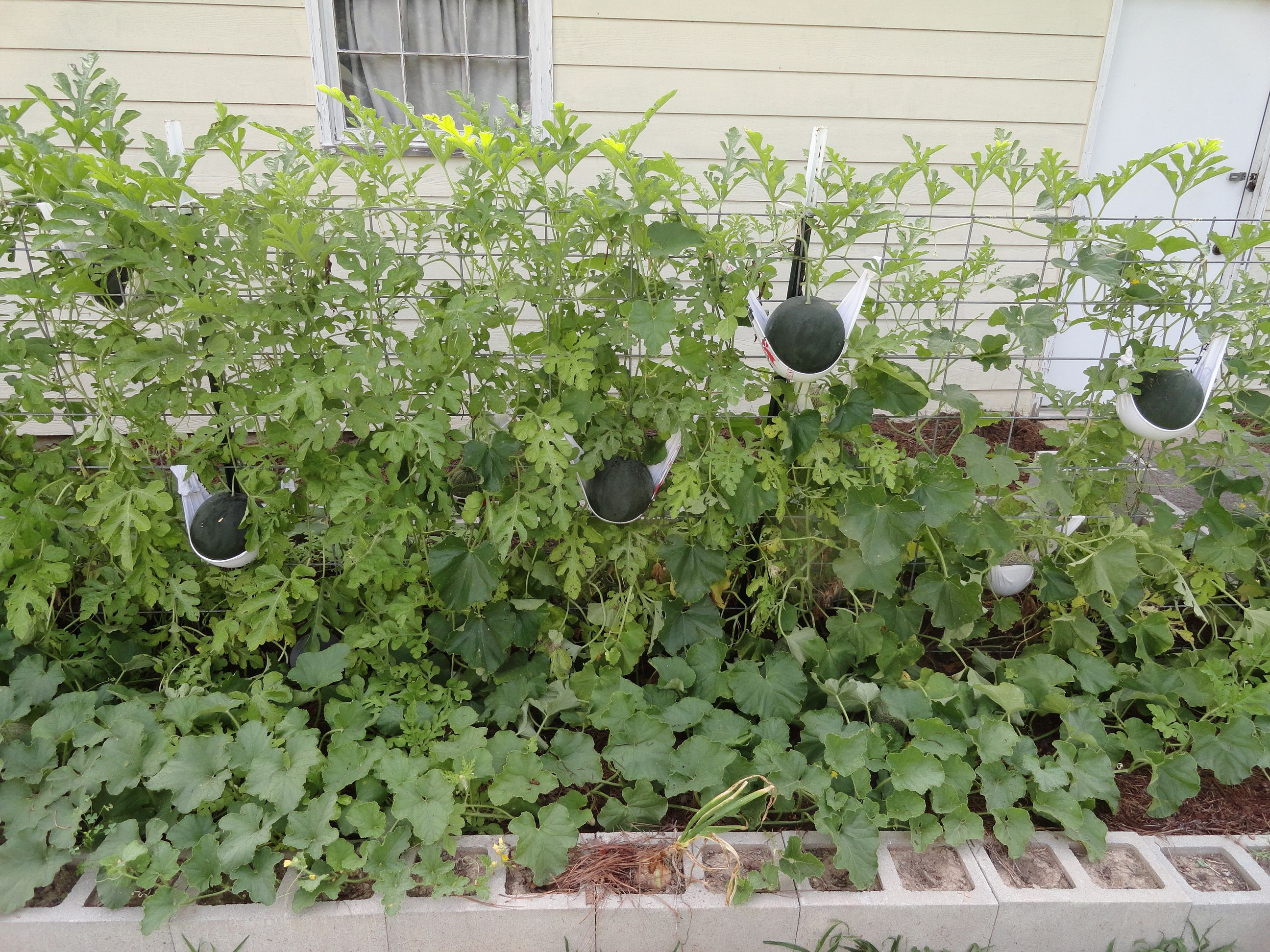 Growing delicious sugar baby watermelons on a trellis in a ...