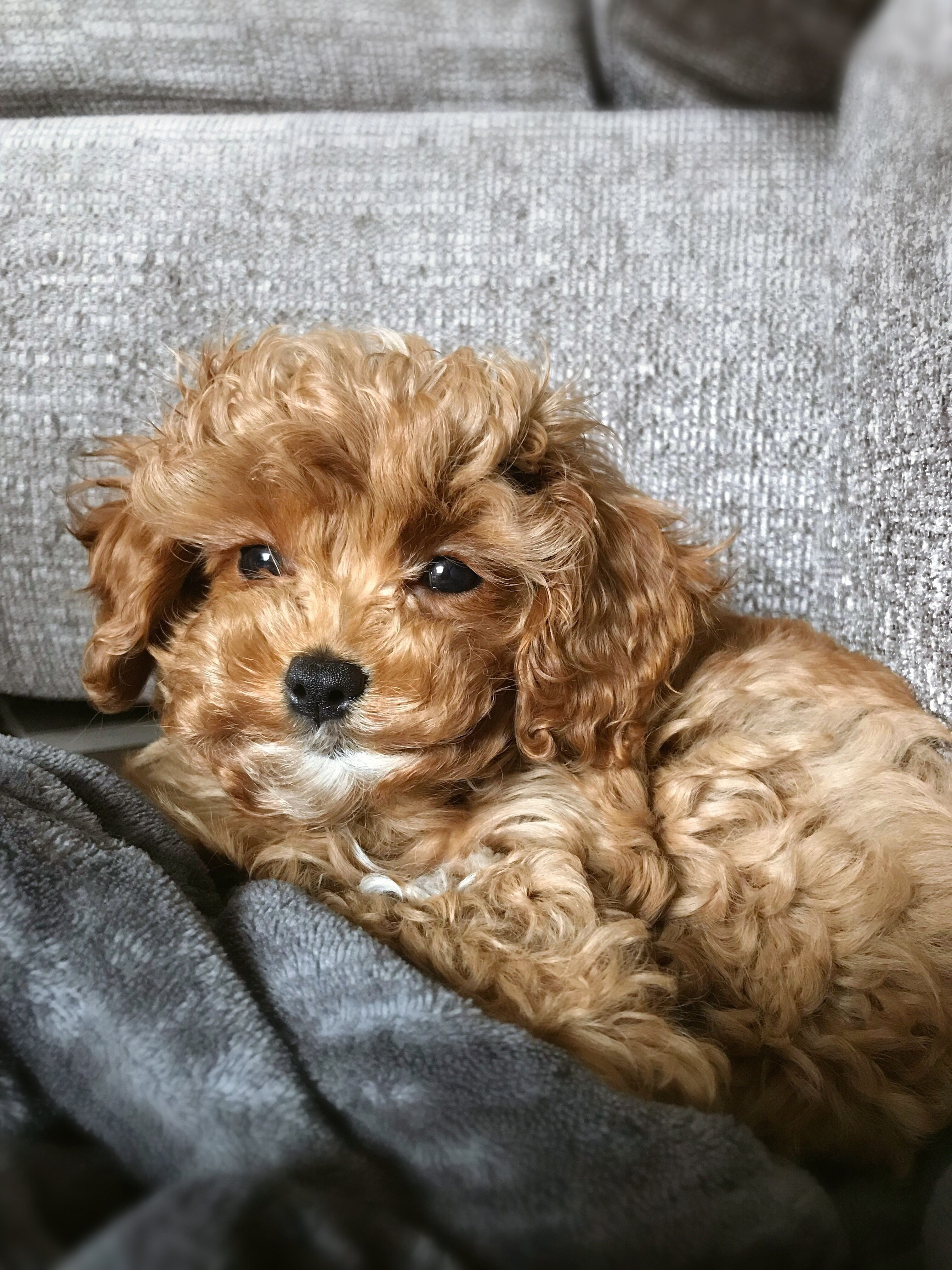 Cavapoo Puppy Cavapoo Puppies Cavapoo Puppies