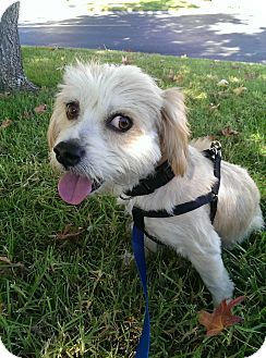 Thousand Oaks, CA - Cockapoo/Poodle (Miniature) Mix. Meet Marvin, a dog for adoption. http://www.adoptapet.com/pet/11620830-thousand-oaks-california-cockapoo-mix