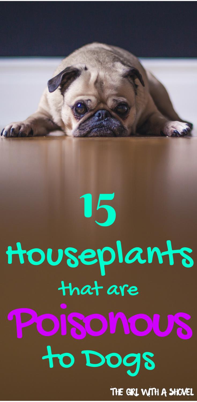 15 Poisonous Houseplants For Pets Poisonous Plants Plants Poisonous To Dogs Houseplants Indoor