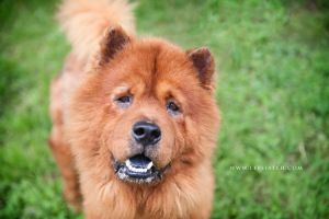 Adopt Tang On Love Of Animals Chow Chow Dogs Dogs Chow Chow