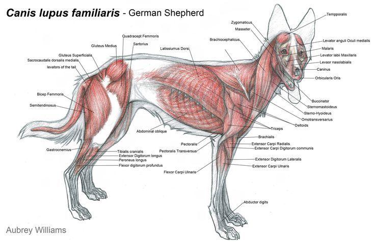 Dog Anatomy Muscular System Poster Furry Friends Pinterest Dog