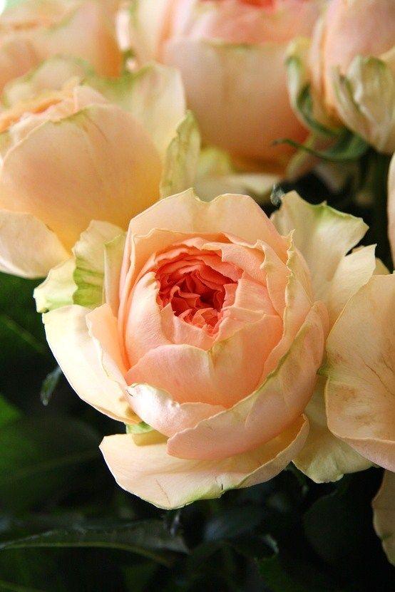 ~pale peach rose: Modesty