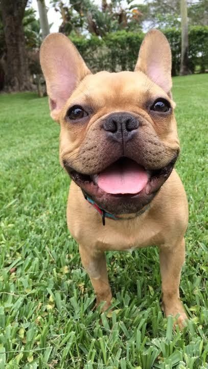 Sweet Smile French Bulldog This Breed Has Become So Popular