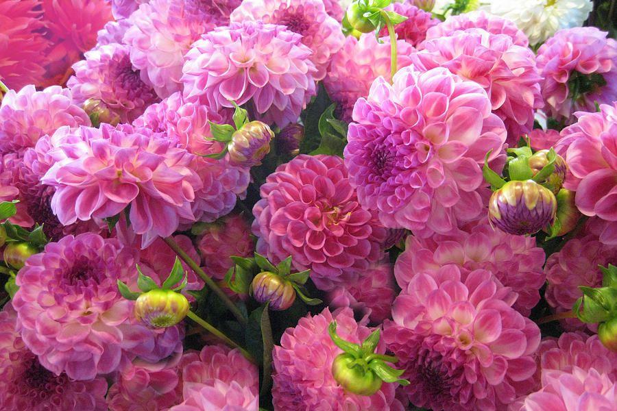 Pink Dahlia Bouquet Photograph | Dream Wedding | Pinterest | Dahlia ...
