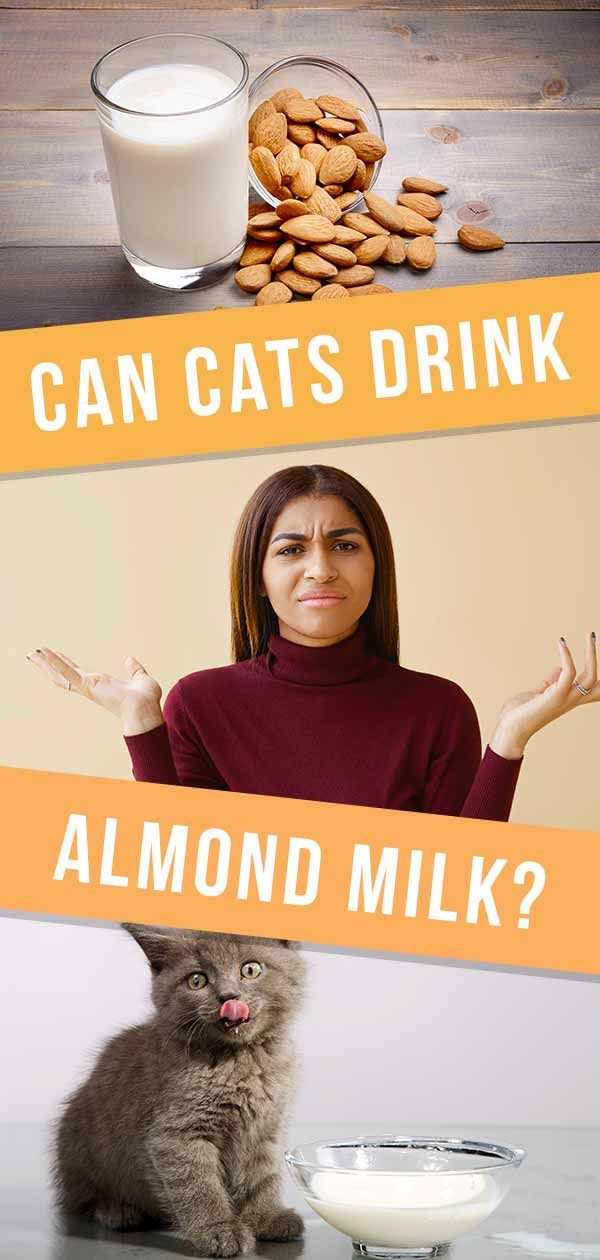 Can Cats Drink Almond Milk Is This LactoseFree Option