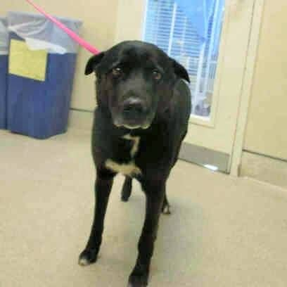 Safe Rto A0791328 Must Exit On 1 8 I Am A Male Black And White Labrador Retriever Mix The Shelter Staff Think I Am About 6 Years Old I Have Been Think