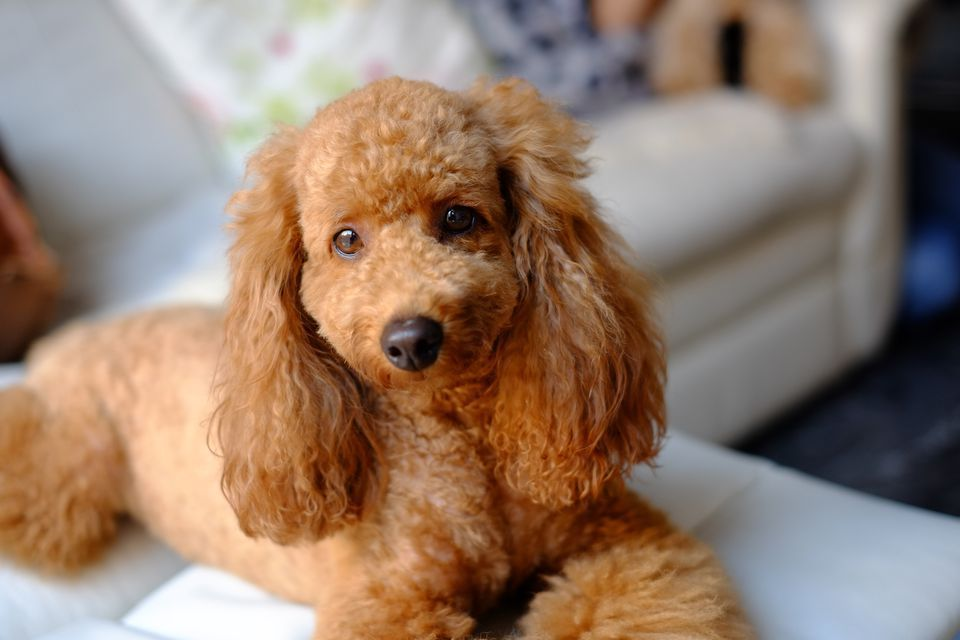 Poodle Dogs For Apartment Apartments