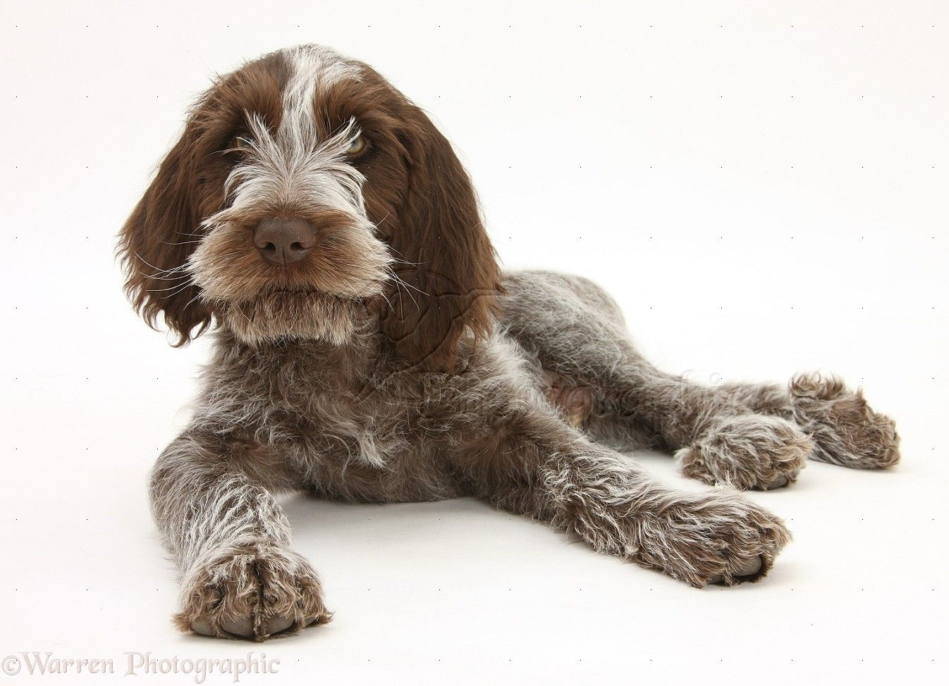 Image of italian spinone brown roan young puppy blue sitting cute - 1000 Images About My Favorite Dogs On Pinterest Australian Shepherd Aussie Puppies And Australian Shepherd Puppies