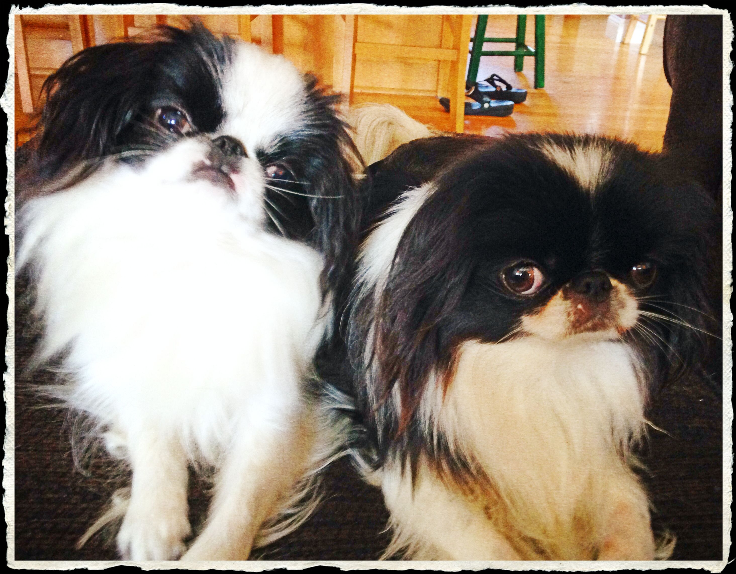 Pin by Tamara on Japanese Chins Japanese chin, Puppies