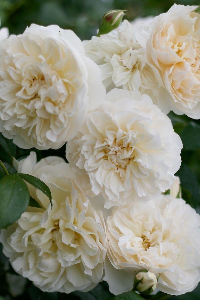White roses ♥