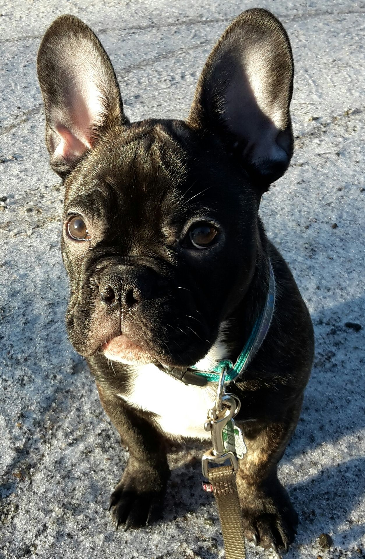 the dailyfrenchie French bulldog puppies, French dogs