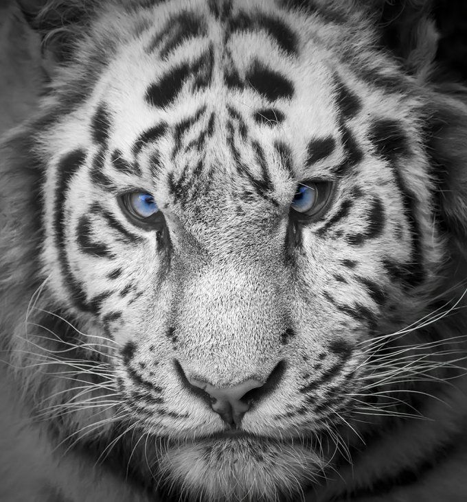 Tiger by MarcoGovel on @creativemarket