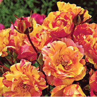 Citrus Splash Shrub Rose Shrub Roses Fragrant Roses Rose Varieties