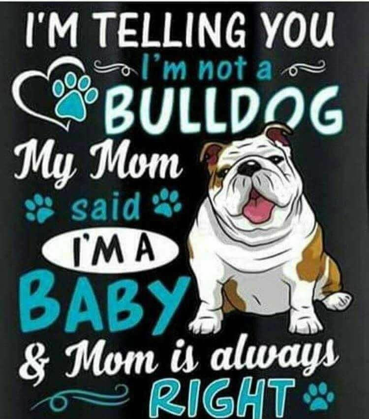 #bulldog #dogsofinstagram #dog #frenchie #dogs #bulldogsofinstagram #frenchbulldog #puppy #englishbulldog #bully #frenchbulldogfullgrown #bulldog #dogsofinstagram #dog #frenchie #dogs #bulldogsofinstagram #frenchbulldog #puppy #englishbulldog #bully #frenchbulldogfullgrown