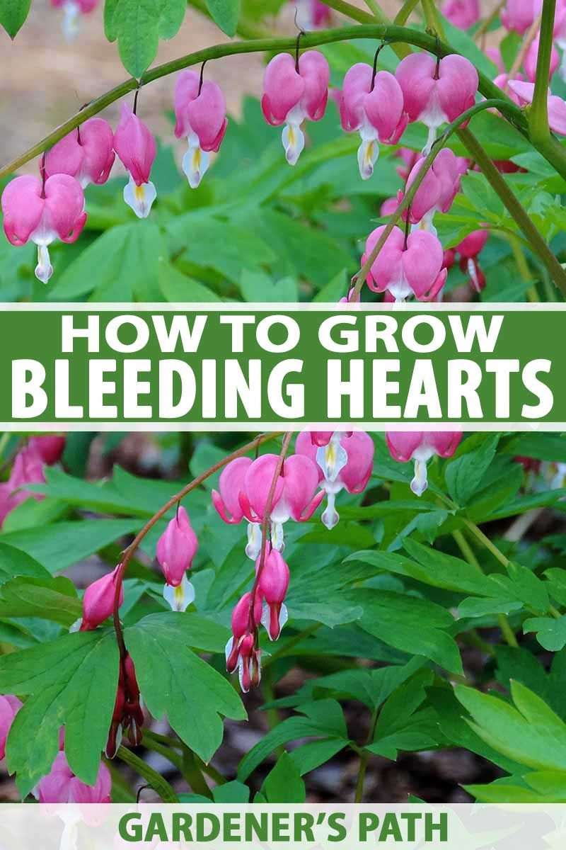 How to Grow Bleeding Hearts is part of Flowers perennials, Shade loving perennials, Shade plants, Perennial garden, Plants, Colorful garden - Bleeding hearts are a favorite in the garden with their unique flowers and an easy to care for disposition  Learn how to grow your own with Gardener's Path