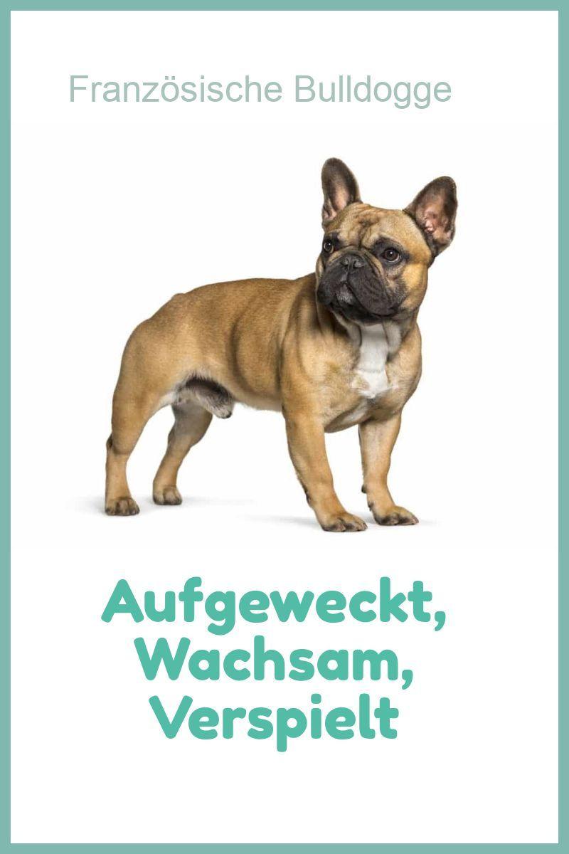 French Bulldog Franzosische Bulldogge Bulldogge Hunde