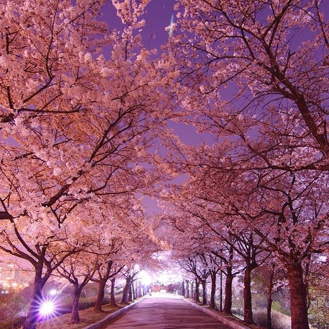 Wonderful Places On Instagram Cherry Blossom In Seoul Korea Pi Cherry Blossom Wallpaper Japanese Cherry Blossom Japanese Cherry Blossom Wallpaper Cherry blossom wallpaper in korea