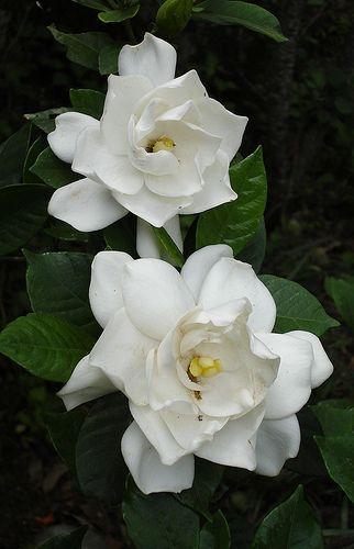 Gardenia Flowers Flowers Gardenia White Flowers