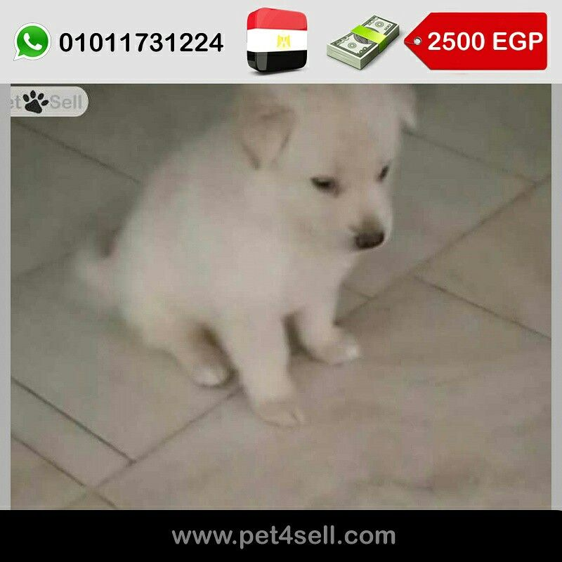 Egypt New Cairo White German Shepherd For Sell 2 Months Vaccinated With Certificate Pet4sell White German Shepherd Retriever Puppy German Shepherd