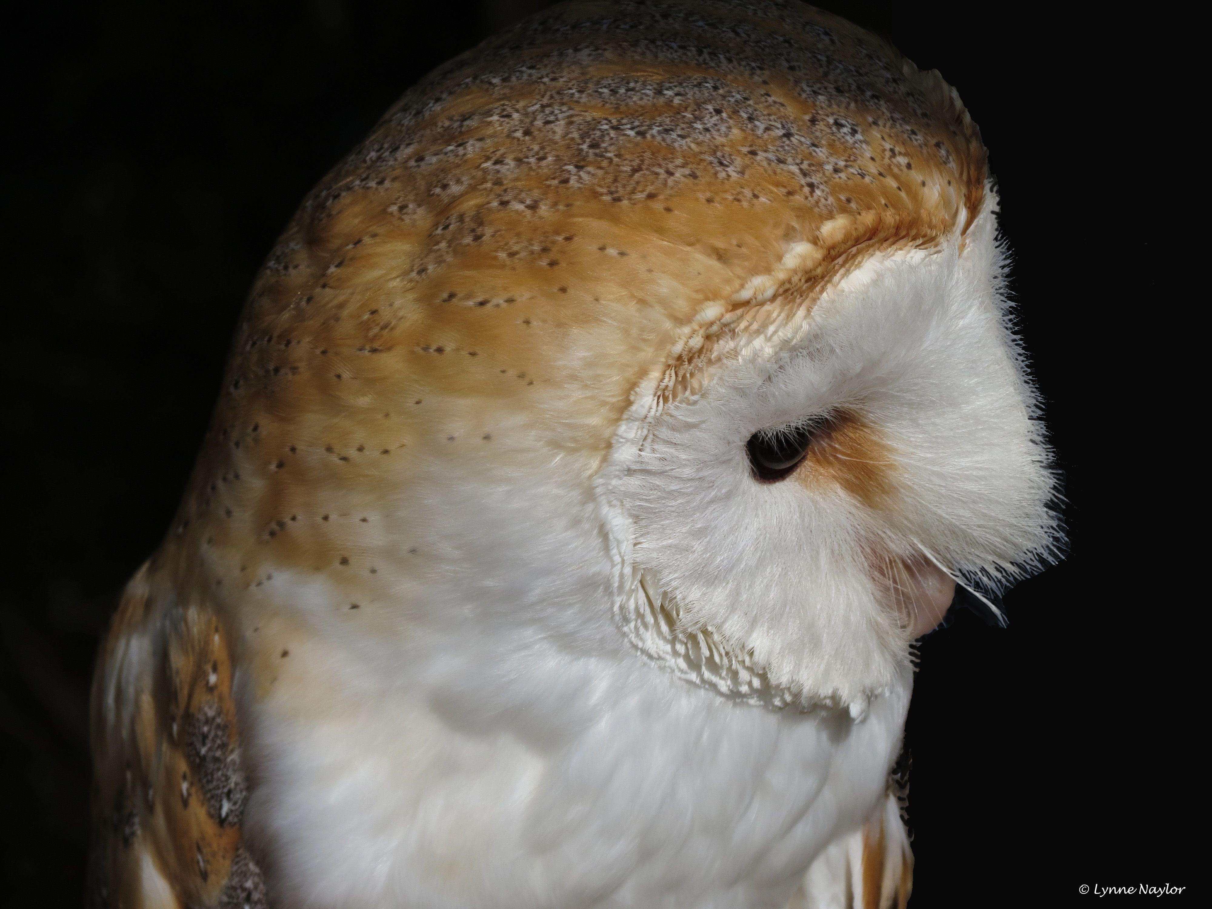 Barn Owl. | Barn owl, Owl, Barn