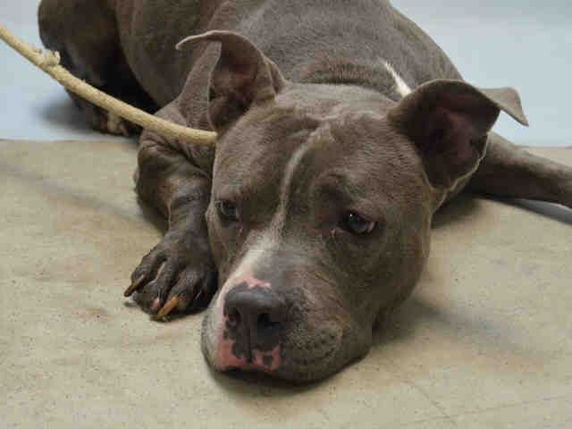 TO BE DESTROYED - 08/12/15 - BANKSY - #A1046306 - Urgent Brooklyn - FEMALE GRAY/WHITE AM PIT BULL TER MIX, 2 Yrs - STRAY - NO HOLD Intake Date 08/01/15 Due Out  08/04/15