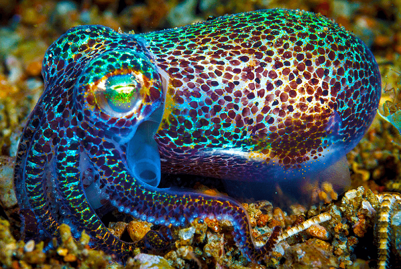 Hawaiian Bobtail Squid Full Grown They Are Only 1 To 2 1 2 Long But They Have Symbiotic Glow In The Dark Bacteria Whi Animals Ocean Creatures Sea Creatures