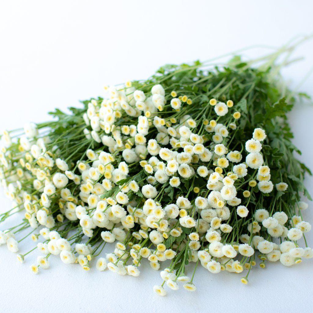 Feverfew Vegmo Snowball Tiny White Flowers Grow Your Own Wedding Flowers Feverfew