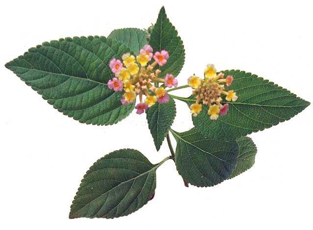 Lantana Kantutay Lantana Camara Philippine Medicinal Herbs Philippine Alternative Medicine Medicinal Herbs Lantana Lantana Camara