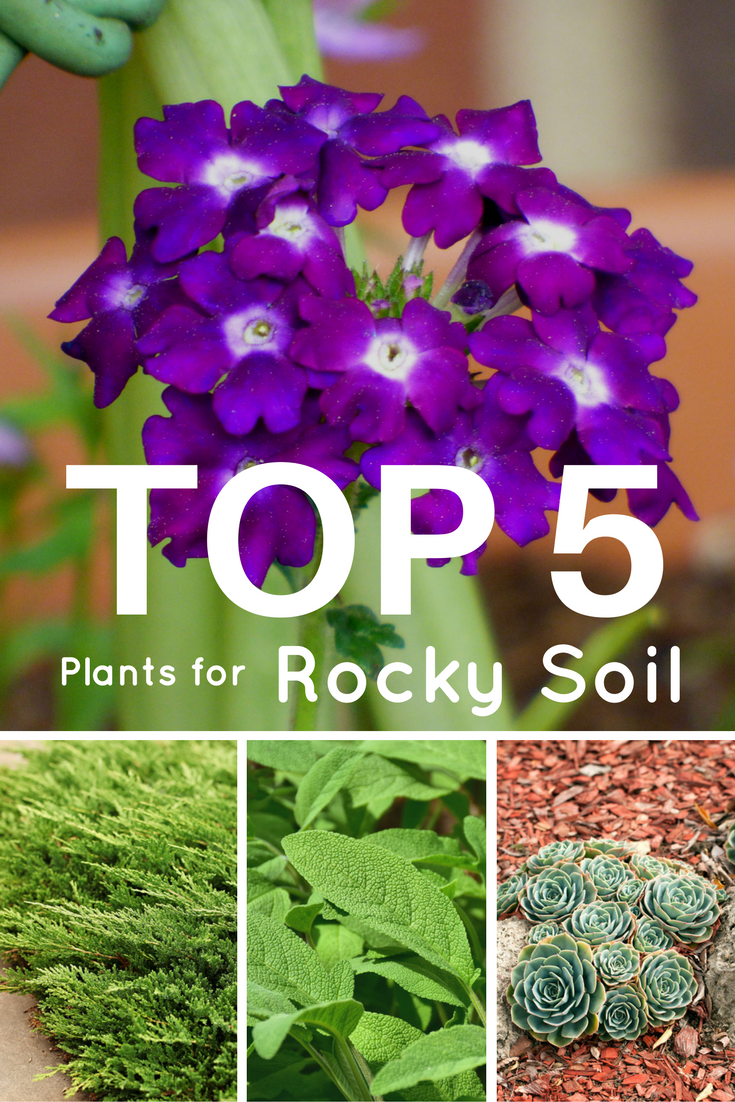 Top 5 Plants For Rocky Soil Gardening Know How S Blog With