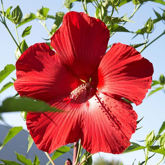 Super Plants For Texas Landscapes Texas Gold Hibiscus
