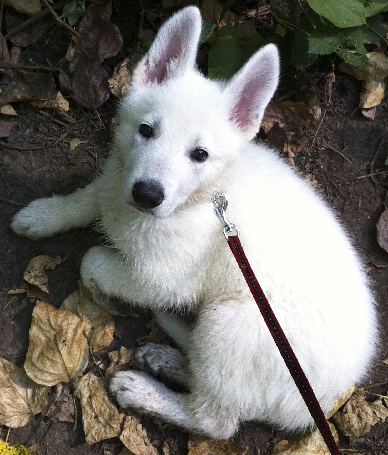 White German Shepherd At 8 Weeks Old White German Shepherd