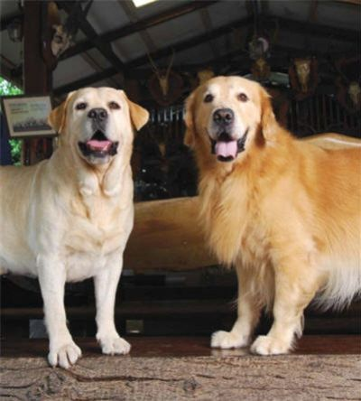 Yellow Lab Golden Retriever Golden Retriever Yellow Labrador Dogs