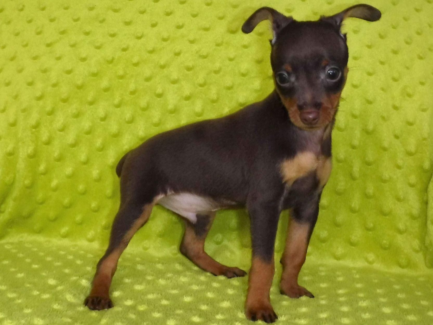 MINIATURE PINSCHER red brown puppy TiNY DOG Figurine HAND PAINTED Min Pin MINI