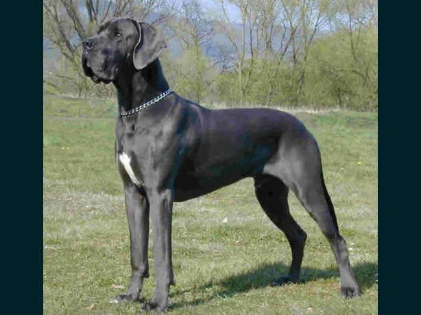 great danes information Information Great Dane FESTUS