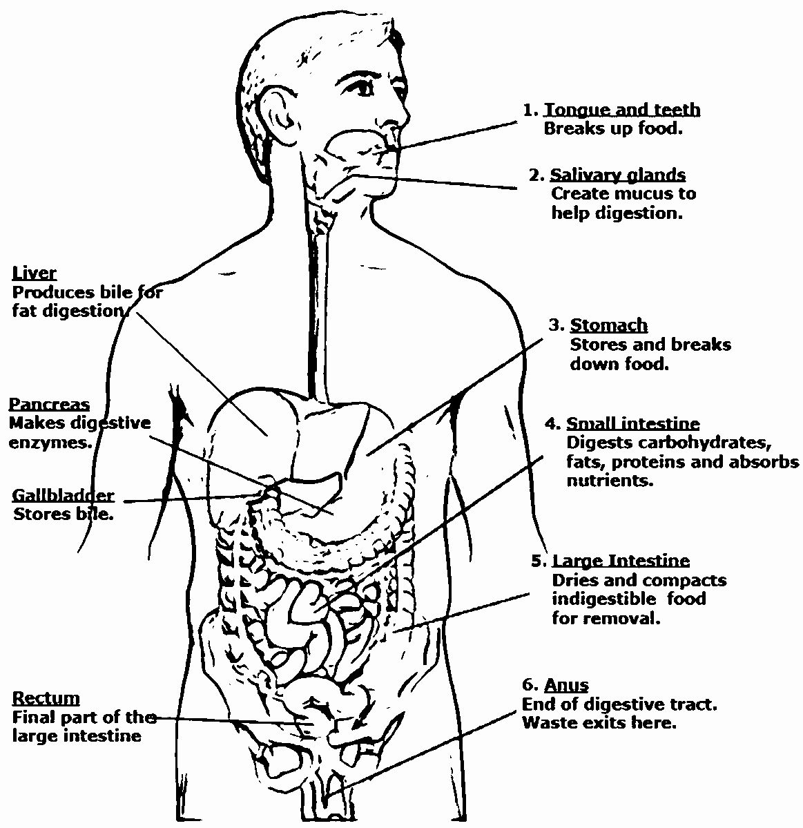 28 Digestive System Coloring Page In