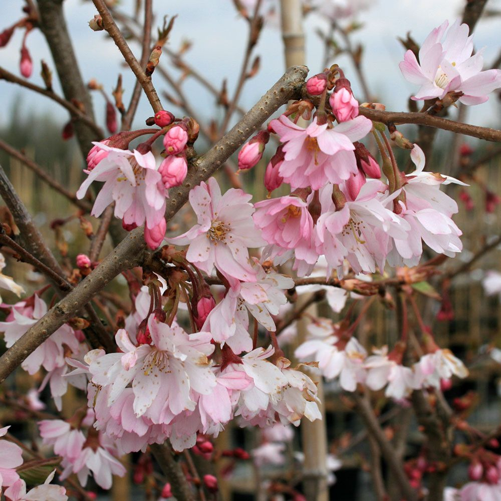 Prunus Autumnalis Rosea Autumn Cherry Tree Flowering Cherry Tree Blossom Trees Cherry Blossom Tree