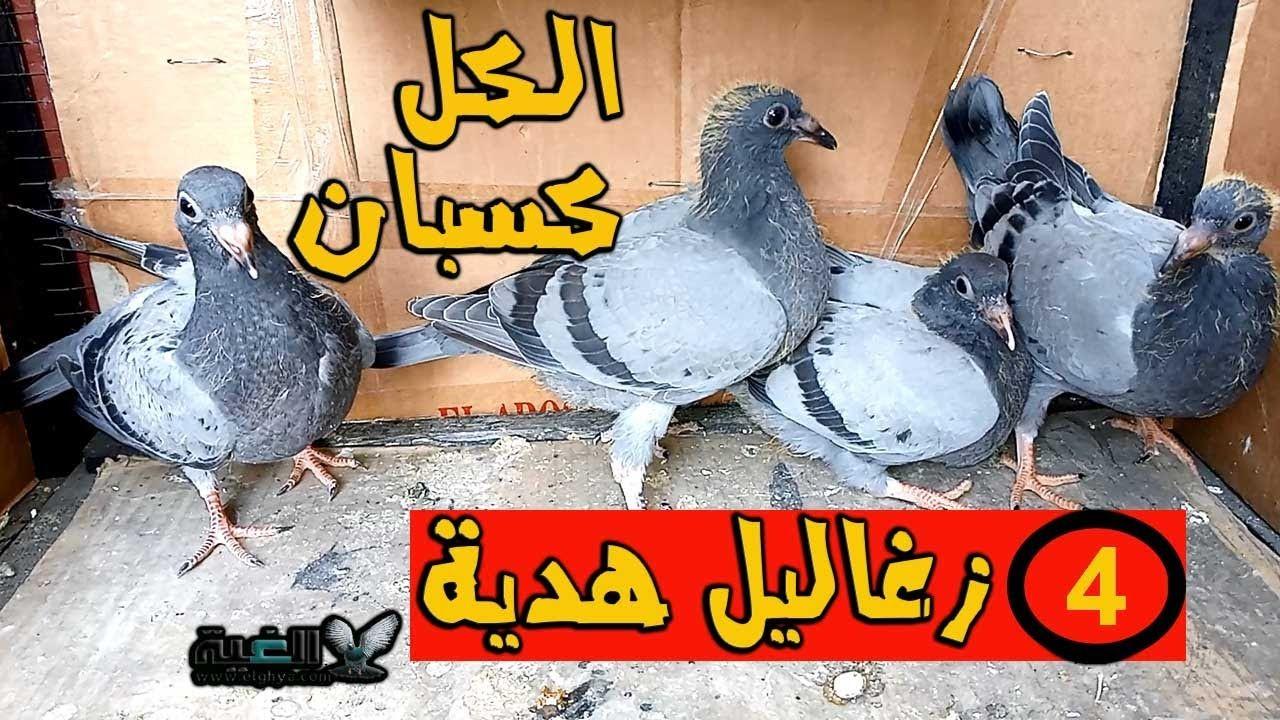 4 زغاليل زاجل هدية لمتابعي قناة الغية من العمدة