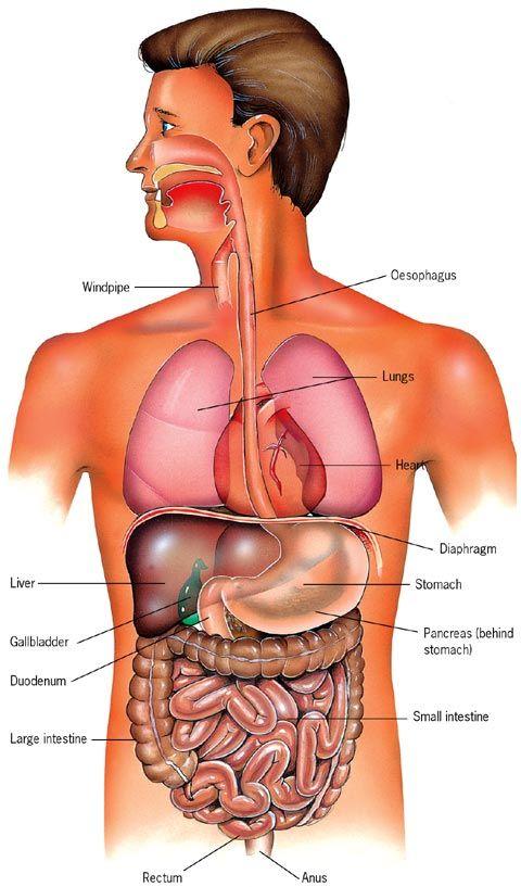 Abdominal Organs Left Side Tempat Untuk Dikunjungi Pinterest